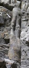 Tronco fósil Syrigodendron