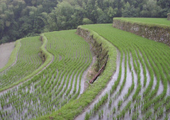 Cultivo de arroz