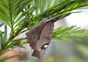 Butterfly Libythea celtis