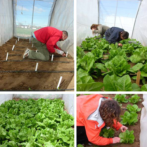 Weekly sampling of aphids on lettuce greenhouses