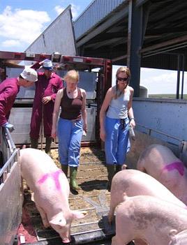Descarga de cerdos en Antequera